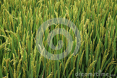 Rice scenery