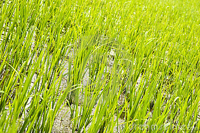 Rice seedling field