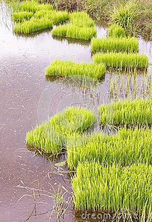 Rice sprouts