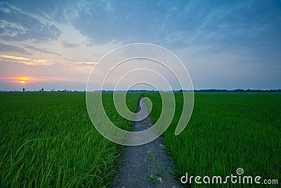 Rice sunset farm