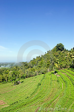 Rice terrace on Bali