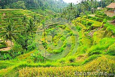Rice terrace,Bali