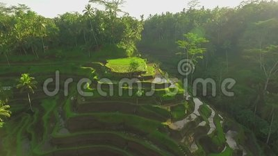 Rice terrace field aerial shot, green paddy field in Bali, Indonesia. Drone flying over Tegallalang rice terrace in Ubud, Bali while the camera tilt down to stock video footage