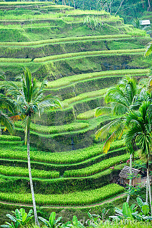Free Rice Terrace Field, Ubud, Bali, Indonesia. Stock Image - 12428421