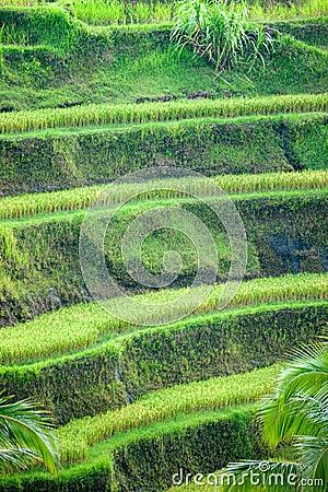 Rice Terrace field, Ubud, Bali, Indonesia.