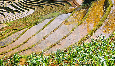 Rice terraced fields