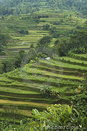 Free Rice Terraces Royalty Free Stock Photo - 528415