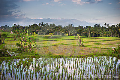 Rice Terraces Of Bali Royalty Free Stock Photos - Image: 16353318