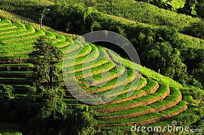 Rice Terrances