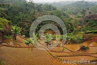 Rice terrases