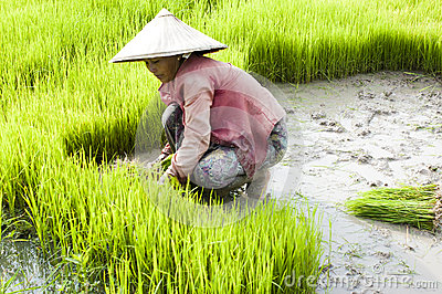 Rice Transplanting in Laos Editorial Image