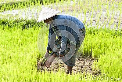 Rice Transplanting in Laos Editorial Image