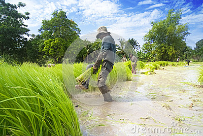 Rice transplanting in Siem Reap, Cambodia Editorial Stock Image