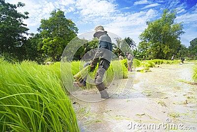 Rice transplanting in Siem Reap, Cambodia Editorial Stock Image