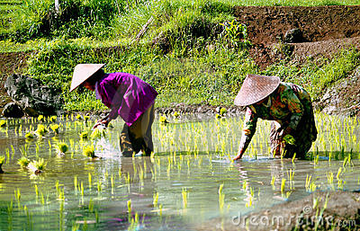 Rice-workers in Indonesia