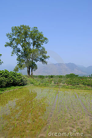 A ricefield at China