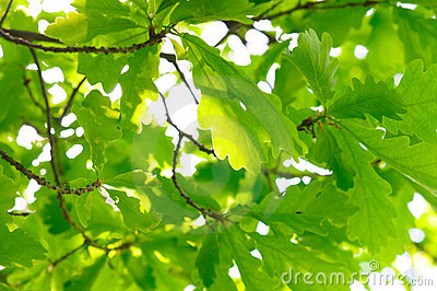 Rich oak foliage