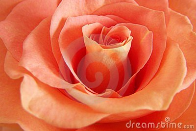 Rich Peach Rose