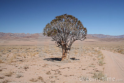 Richtersveld quiver tree.