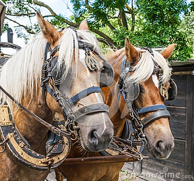 RideThrough the flemish fields with horse and covered wagon.