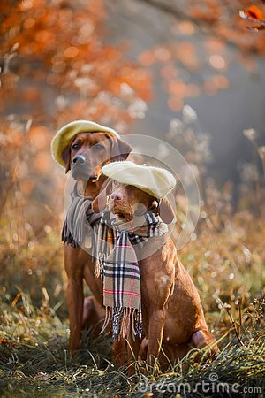 Free Ridgeback And Vizsla Portrait Stock Images - 131083574