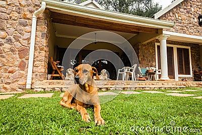 Ridgeback Dogs Home