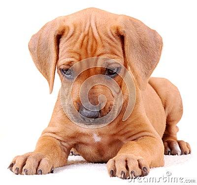 Ridgeback puppy isolated