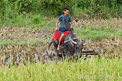 Riding the water buffalo Editorial Photography