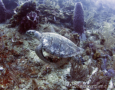 Ridley turtle swimming in coral, roatan, honduras