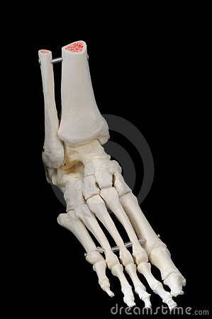 Free Right Side Front View Of Foot Skeleton Royalty Free Stock Photo - 5320745