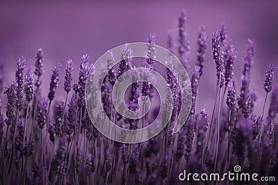 Rij van lavendel