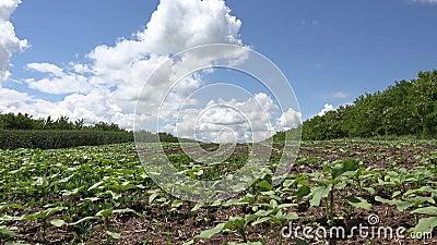 4.000 Rijen op het gebied van de landbouw, aardappelen, grasland, gekweekte boerderij stock footage