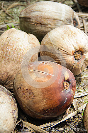 Rijpe kokosnoten