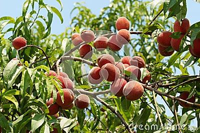 Rijpe perziken op de boom