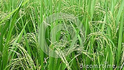 Rijstkorrel op Groen Paddy Wiggle By Wind Blowing Verse en Weelderige Paddy Farming of Aanplanting stock footage
