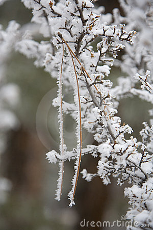 Rime Covering Pine Needle In Gooseberry Bush Royalty Free Stock Photo - Image: 12319775