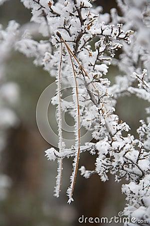 Rime covering pine needle in gooseberry bush