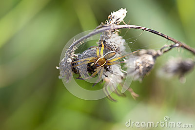 Rimmed hunting spider - macro