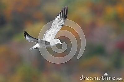 Ring-billed Gull In Autumn
