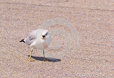 Ring-Billed Gull on the Ground