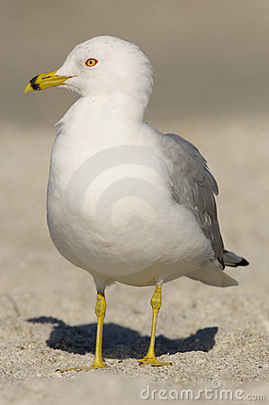 Ring-billed Gull, Larus delawarensis argentatus