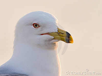 Ring Billed gull posing