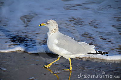 Ring-billed gull walking