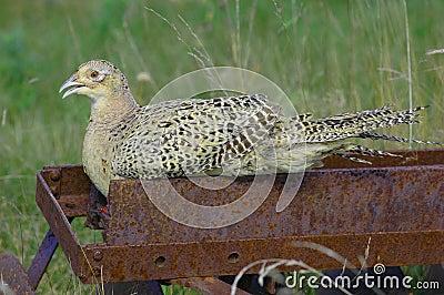 Ring-necked pheasant (Phasianus colehicus)