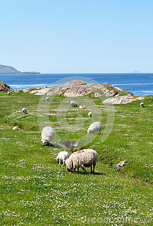 Free Ring Of Kerry Sheeps Royalty Free Stock Image - 31748236