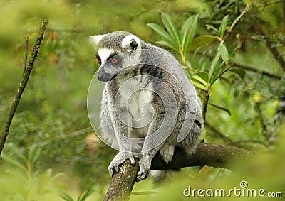Ring-tailed lemur 5