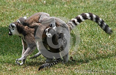 Ring-tailed Lemur 6