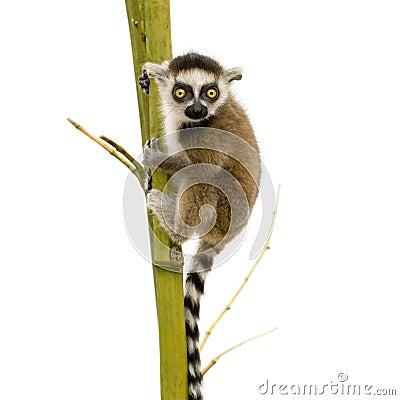 Free Ring-tailed Lemur (6 Weeks) - Lemur Catta Royalty Free Stock Photography - 5632907