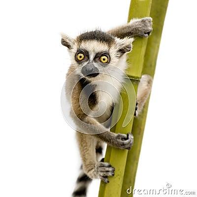 Free Ring-tailed Lemur (6 Weeks) - Lemur Catta Royalty Free Stock Images - 5632969