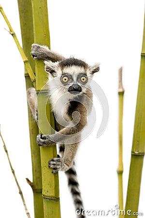 Free Ring-tailed Lemur (6 Weeks) - Lemur Catta Royalty Free Stock Images - 5853829